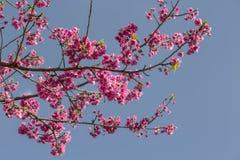 Красивейшее цветение вишни Стоковая Фотография RF
