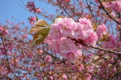 Красивейшее цветение вишни Стоковая Фотография