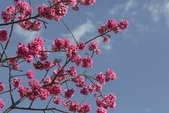 Красивейшее цветение вишни Стоковые Фото