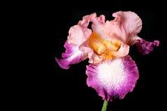 красивейшее irise Стоковые Фотографии RF