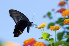 красивейшее swallowtail летания бабочки Стоковое Изображение