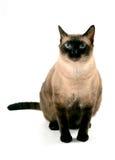 Кот голубых глазов Стоковое фото RF