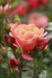 Красивейше поднял в сад Стоковые Фото