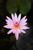 красивейше waterlily Стоковое Фото