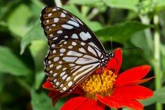 красивейшие бабочки Стоковое Фото