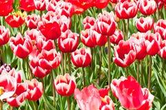 красивейшие близкие тюльпаны группы вверх Стоковая Фотография RF
