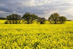 красивейшие валы рапса поля Стоковая Фотография RF