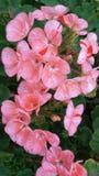 Красивейшие гераниумы Мягкие розовые storkbills стоковое изображение