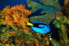 красивейшие голубые рыбы Стоковое Изображение