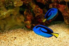 красивейшие голубые рыбы Стоковые Изображения