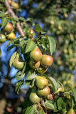 красивейшие груши зрелые Стоковая Фотография