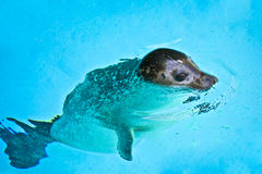красивейшие детеныши заплывания уплотнения Стоковое Фото