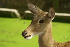 красивейшие детеныши оленей Стоковое Изображение