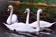 Красивейшие лебеди Стоковая Фотография