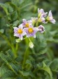 красивейшие детали bush цветя естественные картошки Стоковые Фото
