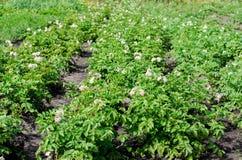 красивейшие детали bush цветя естественные картошки Стоковые Изображения RF