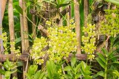 Красивейшие желтые орхидеи в саде Стоковое фото RF