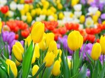 Красивейшие желтые тюльпаны Стоковая Фотография RF