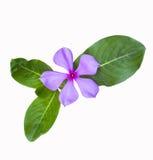 Красивейшие листья whit цветка Стоковые Фотографии RF