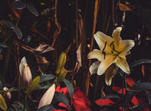 красивейшие лилии красные Стоковые Фото