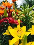 красивейшие лилии Стоковое Изображение