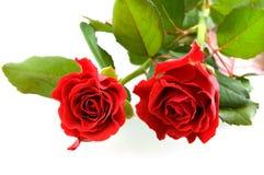 красивейшие красные розы 2 Стоковые Фотографии RF