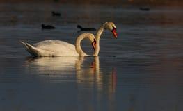 красивейшие лебеди захода солнца света cygnus греют одичалое Стоковые Изображения