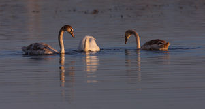 красивейшие лебеди захода солнца света cygnus греют одичалое Стоковая Фотография RF