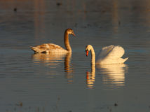 красивейшие лебеди захода солнца света cygnus греют одичалое Стоковое Изображение