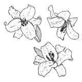 красивейшие лилии также вектор иллюстрации притяжки corel чувствительные цветки Винтажная печать на открытке, плакате или одеждах иллюстрация штока