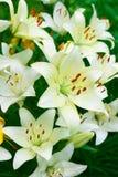 красивейшие лилии Стоковые Фотографии RF