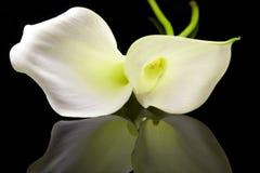 красивейшие лилии calla белые стоковая фотография