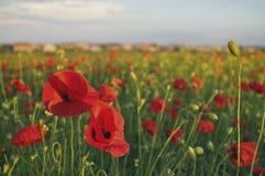 красивейшие маки красные Стоковая Фотография