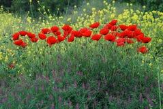красивейшие маки Стоковые Фотографии RF