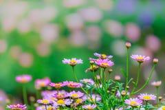 Красивейшие маргаритки в поле лето сада цветков цветения Стоковые Фото
