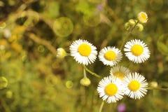 Красивейший малый стоцвет Стоковые Изображения