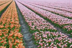 красивейшие нидерландские тюльпаны Стоковое Фото