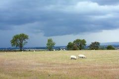 красивейшие овцы scottish ландшафта Стоковые Изображения