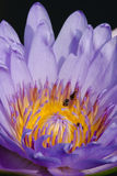 Красивейшие лотос и пчела Стоковая Фотография RF