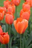 красивейшие померанцовые тюльпаны стоковое изображение