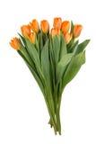 Красивейшие померанцовые тюльпаны на белой предпосылке Стоковое Изображение RF