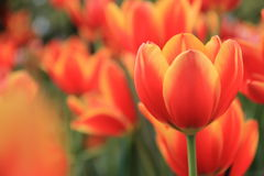 красивейшие померанцовые тюльпаны Стоковое фото RF