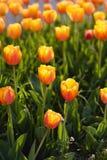 красивейшие померанцовые тюльпаны стоковые изображения rf