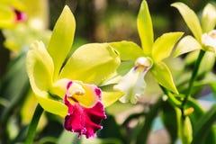 Красивейшие пурпуровые цветки орхидеи Стоковое Фото