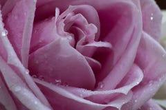 красивейшие розовые розы Стоковое фото RF