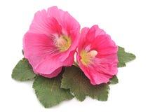 Красивейшие розовые цветки Стоковые Изображения