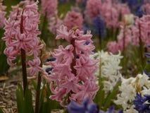 Красивейшие розовые цветки Стоковые Изображения RF