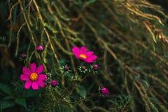 Красивейшие розовые цветки Стоковые Фотографии RF