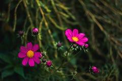 Красивейшие розовые цветки Стоковое Изображение RF