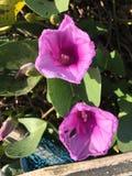Красивейшие розовые цветки Стоковое Изображение